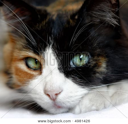 Calico Cat With Beautiful Green Blue Eyes ~ Close Up