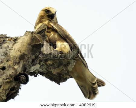 Kamchatkan Rough-legged Buzzard - Buteo Logopus Kamtschatkensis