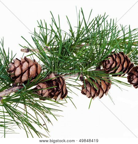 Pine Cones On Branch Of Conifer Tree