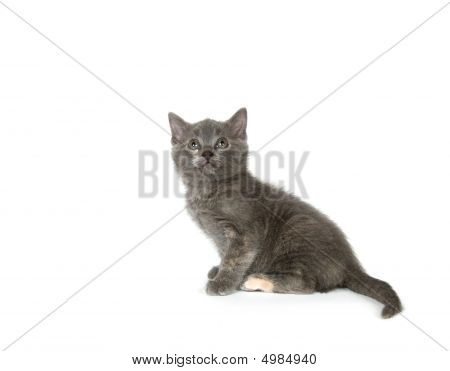 A gray kitten sitting on a white background and looking up poster