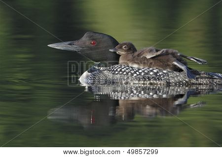 Baby Common Loon (Gavia immer) Riding on Parent's Back with its Legs Stretched Out - Haliburton Ontario, Canada poster
