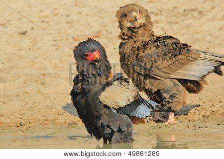 Bateleur Eagle - Wild Bird Background from Africa - Fun of the Curious and Beautiful