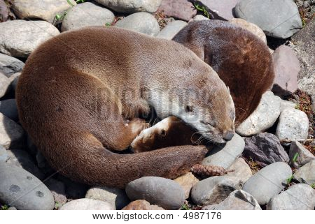 Sleeping River Otters