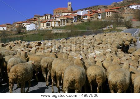 Lamb herd sheep and gout flock walking on Spanish typical village poster