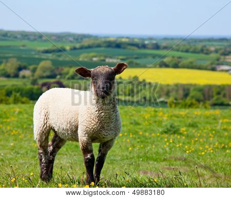 Sheep at a pasture in England poster