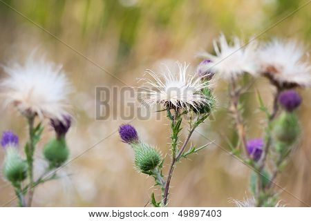Thistle flowers group
