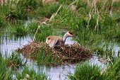 A Female Sandhill Crane is keeping her egg warm and waiting for Chic to hatch. poster