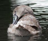 Juvenile Swan (Cygnet) preening on the river poster