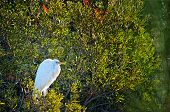 Great Egret in breeding plumage sitting in tree at Chincoteague National Wildlife Refuge poster