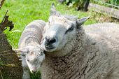 Sheep with little lamb in the grass poster