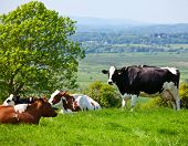 Holstein cows grazing at pasture in England poster