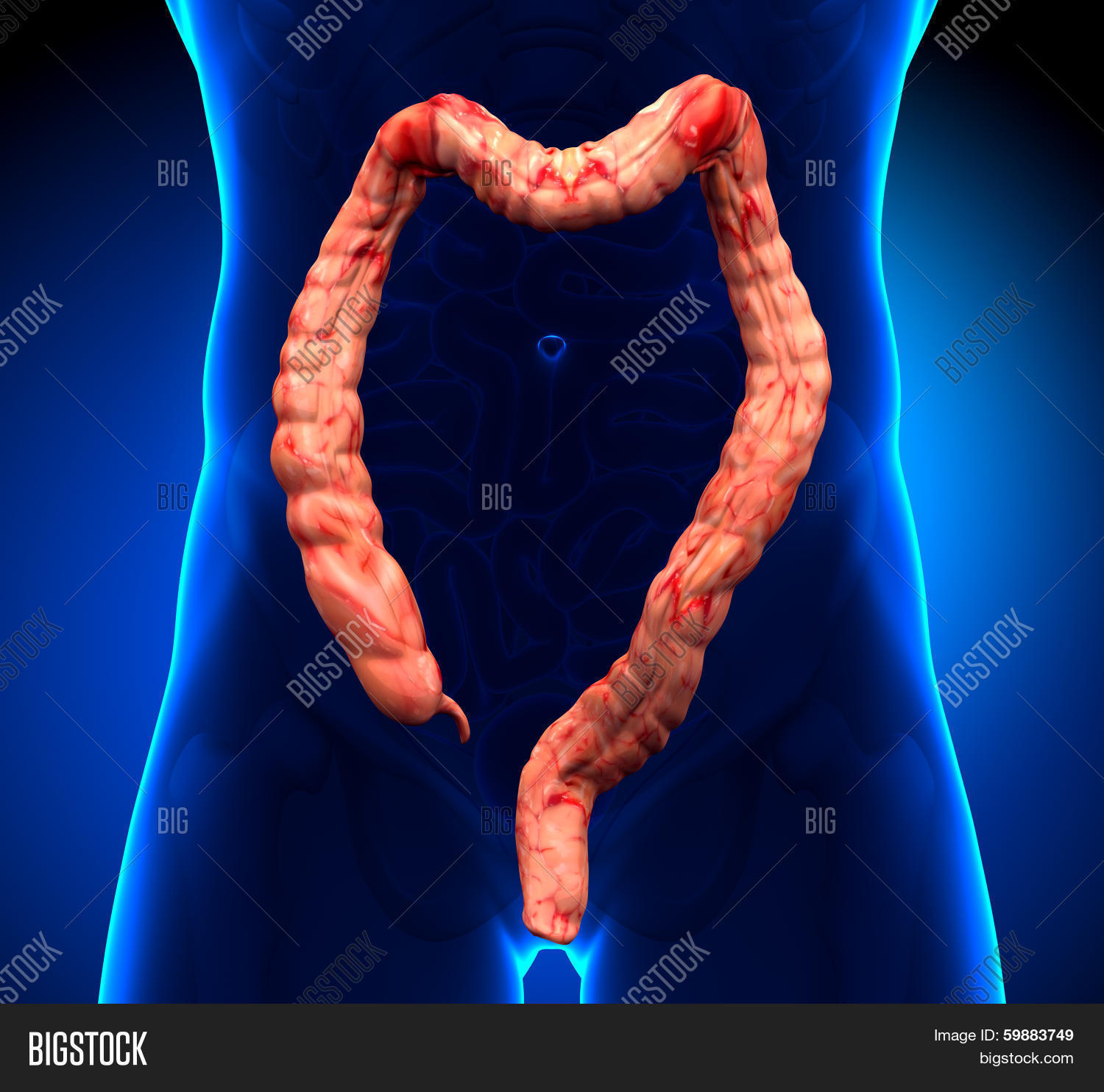 Colon Anatomy - Real Image & Photo (Free Trial) | Bigstock
