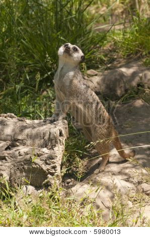 Meerkat Checking Things Out