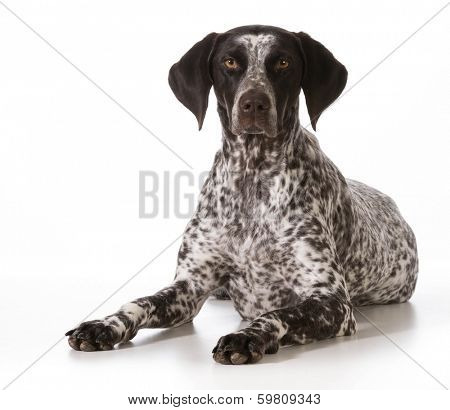 german shorthaired pointer female laying down looking at viewer isolated on white background poster