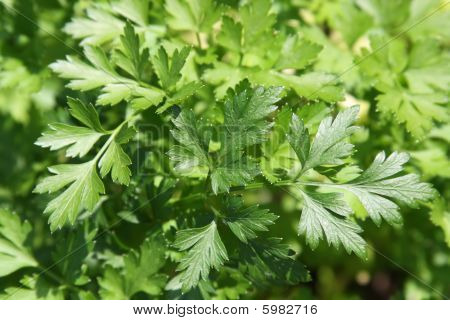 Fresh Green Leaves Of A Parsley