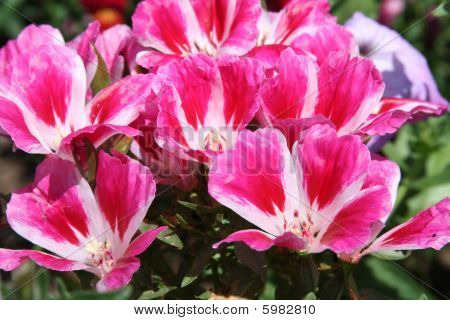 Pink And White Godetia