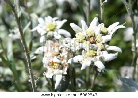Edelweiss Blossom. Close-up
