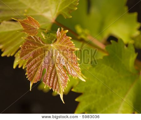 Young Grape Vine