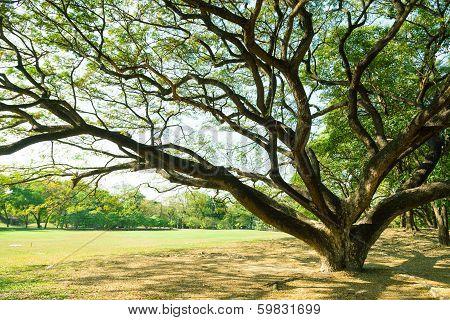 Big Tree On The Lawn