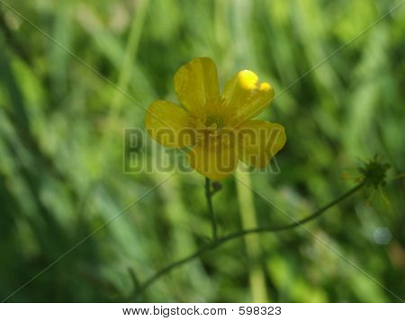Spring Buttercup