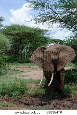 poster of adult elephant approaching the mud in order to cool himself