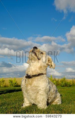 A Bichon Havanais dog resting in the sun