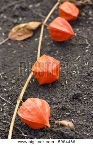 Red Physalis
