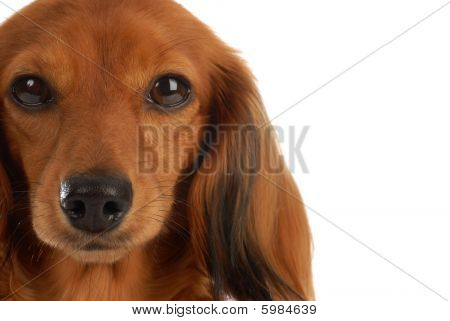 Dachshund Head Portrait