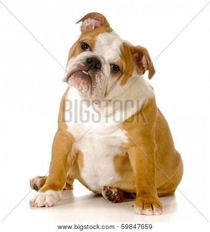 cute english bulldog puppy with head tilted to the sided isolated onwhite background