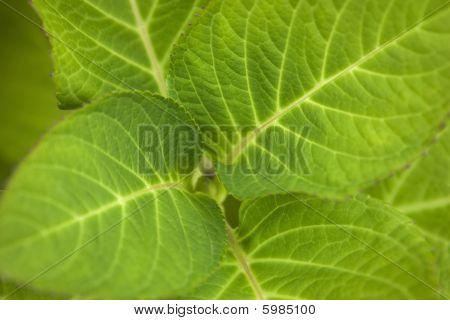 Hydrangea Leaf Beautiful Close Up
