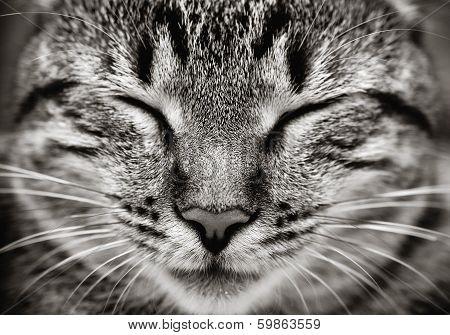 Closeup Of Sleeping Cat Face