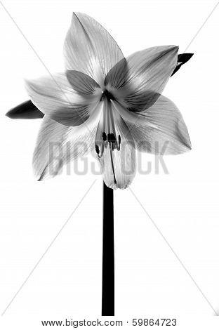 Amarilis Flower In Black And White