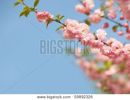 branches with beautiful pink flowers against the blue sky. Amygdalus triloba. Shallow DOF.