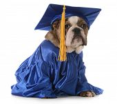 puppy school - english bulldog wearing graduation hat and gown isolated on white background poster