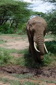 adult elephant approaching the mud in order to cool himself poster