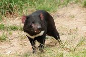 Tasmanian Devil (Sarcophilus harrisii) is an endemic Australian endangered carnivorous marsupial poster
