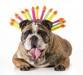 birthday dog - english bulldog wearing happy birthday hat - 2 year old brindle male poster