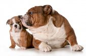 father and daughter dog - english bulldog family isolated on white background - 8 week old puppy poster
