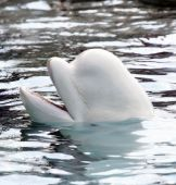 beluga whale playing in clear blue water poster