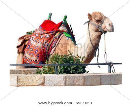 Seating Camel