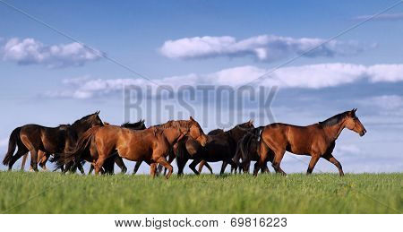 Herd of horses in the pasture rides