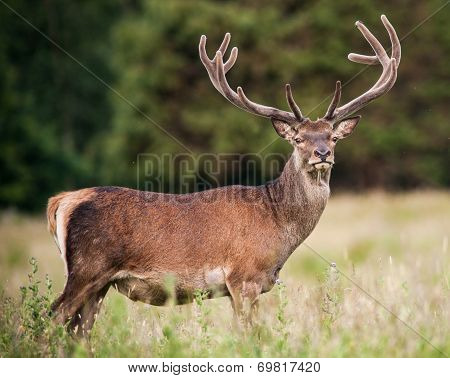 powerful adult red deer stag
