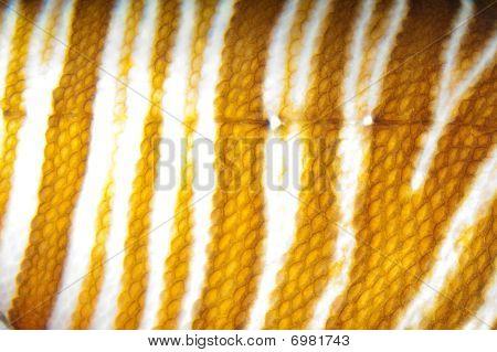 Volitan Lionfish Skin Pattern