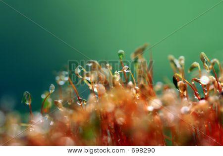 Forest, Moss (anophyte)