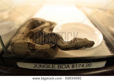 Jungle Boa For Sale