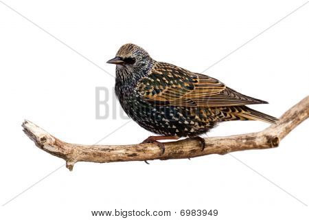 Profile Of Starling At Rest On A Branch