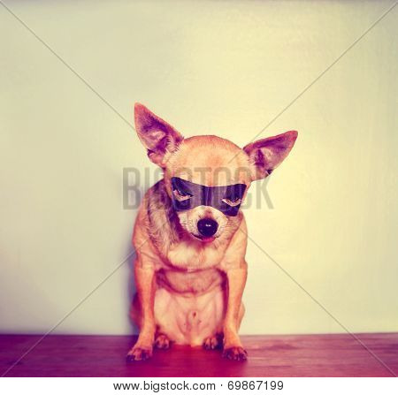 a cute chihuahua with a mask on toned with a retro vintage instagram filter