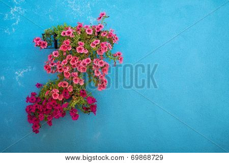 Beautifully blossoming surfinia on blue wall