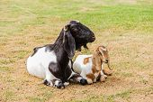 Mother And Baby Goats