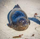 A Harbor Seal on the shores of La Jolla, California. poster